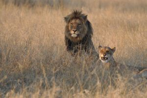 Breeding Lions. by ThLivingEnd