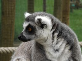 Lemur by Embrace-The-Night
