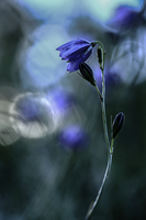 Blue bells by Sparvoga