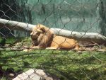 Cage of the Lion by t1gertasha