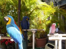 Parrots in Hawaii by 7kitty13