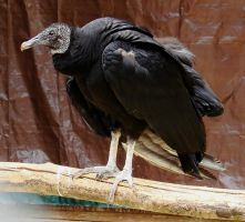 Vulture May 1 2011 by seto2112