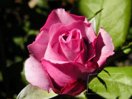 Rose DSCN0930 by siannajmj