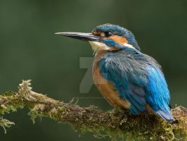 Just Chillin  - Common Kingfisher by Jamie-MacArthur