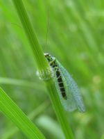 LACEWING by iriscup