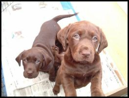 Chocolate labrador puppies by BlackGrace