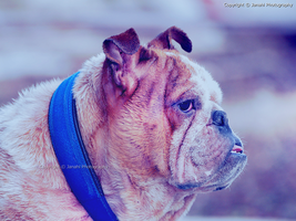 Bulldog by janahi-photography