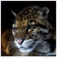 Clouded Leopard by In-the-picture