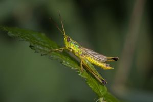 Large Gold Grasshopper by DavidVeevers