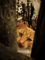 Ginger Cat by Niuchaczaus