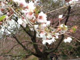 Brooklyn Botanic Garden - Single Sakura by Blueheart1331