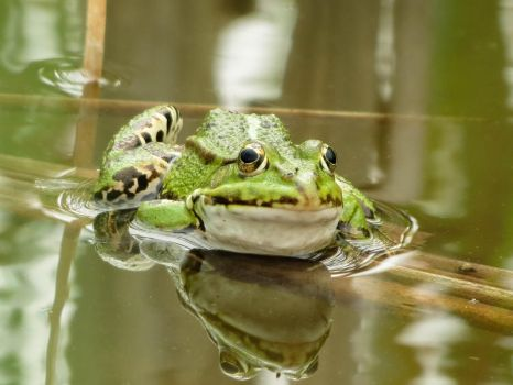 Frog 2 by mrscats
