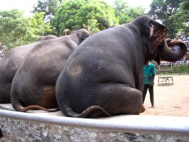 Elephas Maximus by curiousused