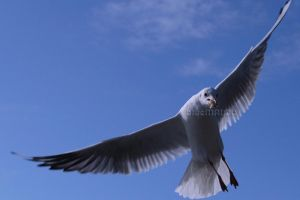 Seagull in Flight by blueMALOU