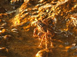 crab basking in the sunlight by Dvenas