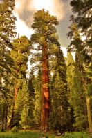 Sequoia Tree by BreathlessLullaby