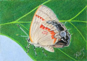 Red Banded Hairstreak by KW-Scott