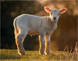 Dartmoor Lamb by TamarViewStudio