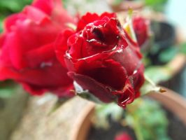 Red Rose and Water Drops 1 by Moka898