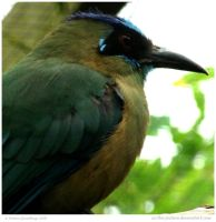 Blue-crowned Motmot by In-the-picture