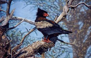 Bateleur by WillemSvdMerwe