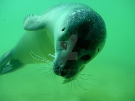 Seal by ButterflyFish