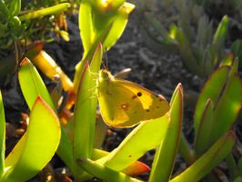 Clouded Yellow butterfly by Faunamelitensis