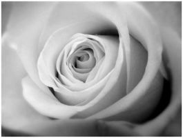 Recycled rose 3 by phrozendesign