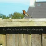 Robin on the Fence by Hitomii