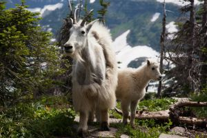 mountain goats 1 by thedirtyknapkin