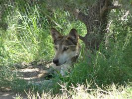 LD August 14: Mexican Wolf 24 by FamilyCanidae