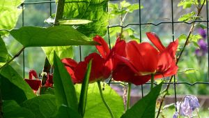 Red tulips in morning light by April-Mo