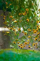 Black Eyed Susans by planet0