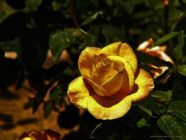 Gilded Rose by creativemikey