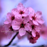 Cherry Blossom 3 by TheDevlyn