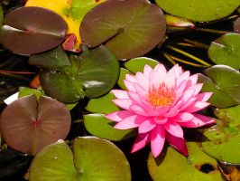 Water Lily by dkbarto
