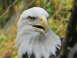 Bald Eagle close up 2 by NathansMommy1787