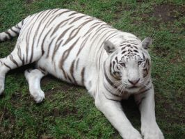 White tiger4 by ICEKING4
