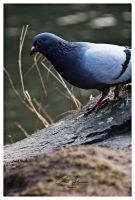 pigeon by PhotographyChris