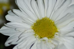 flower- white by Dandelion-lion-stock
