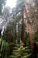 Muir Woods part 2 by Toefje-Kunst