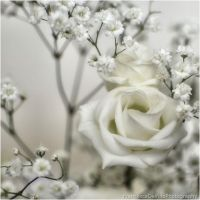 Softness white rose by FrancescaDelfino