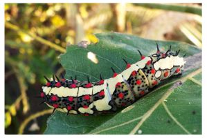 Caterpillar 23 (The Common Mime) by kiew1