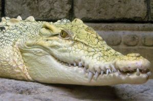 Alligator smiling by iristmpl