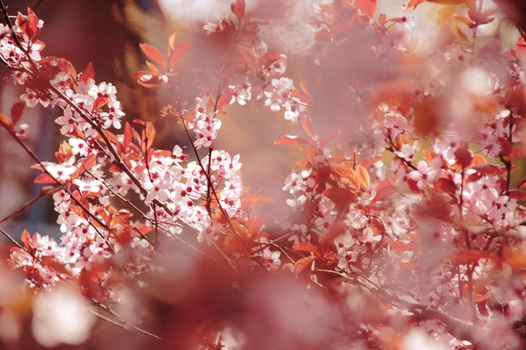 CHERRY BLOSSOM III by bostonstage