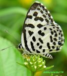 very small  black and white butterfly by kumarvijay1708