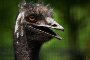Emu by ShineeDragon