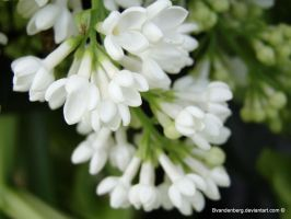 White flowers by babsartcreations