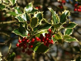 Holly 06 by botanystock