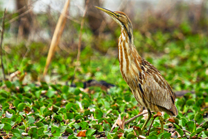 American Bittern by ribbonworm